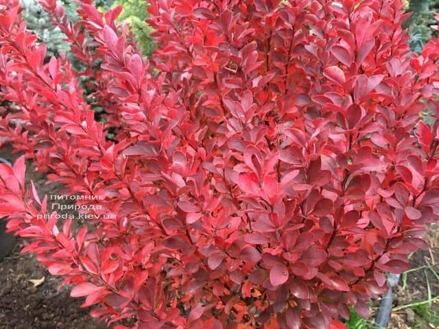 Барбарис Тунберга Рэд Рокет (Berberis thunbergii Red Rocket) ФОТО Питомник растений Природа (1)