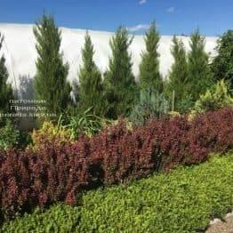 Барбарис Тунберга Ред Пиллар (Berberis thunbergii Red Pillar) ФОТО Розплідник рослин Природа (4)