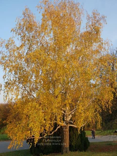Берёза белая бородавчатая повислая (плакучая) (Betula pendula) ФОТО Питомник растений Природа (4)