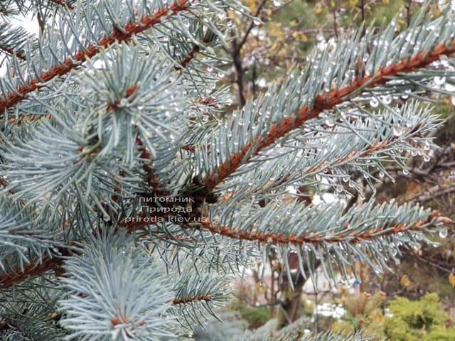 Ель голубая Эдит (Picea pungens Edith) ФОТО Питомник растений Природа (25)