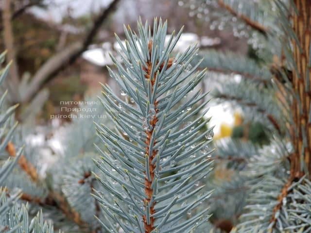 Ель голубая Эдит (Picea pungens Edith) ФОТО Питомник растений Природа (26)