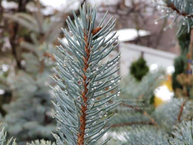 Ель голубая Эдит (Picea pungens Edith) ФОТО Питомник растений Природа (28)