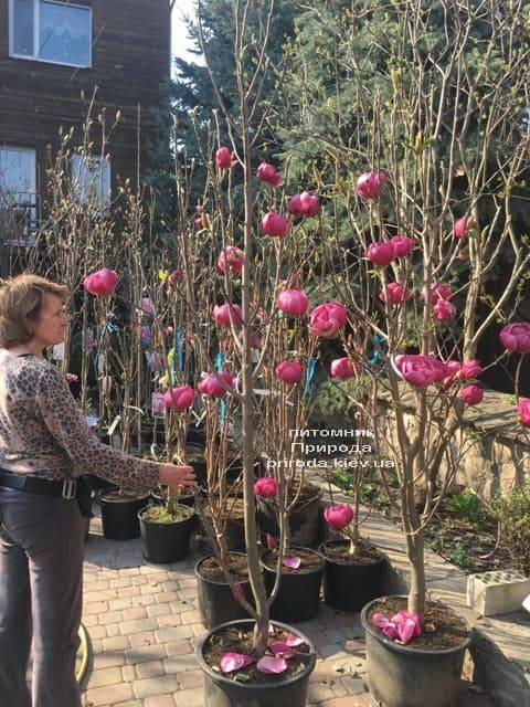 Магнолія Блек Тюліп (Magnolia Black Tulip) ФОТО Розплідник рослин Природа (21)