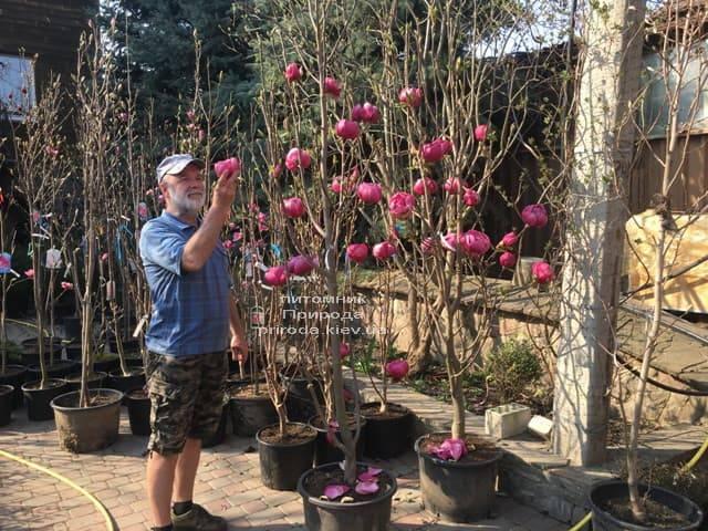 Магнолія Блек Тюліп (Magnolia Black Tulip) ФОТО Розплідник рослин Природа (22)