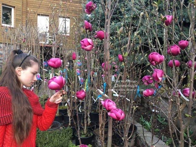 Магнолія Блек Тюліп (Magnolia Black Tulip) ФОТО Розплідник рослин Природа (24)