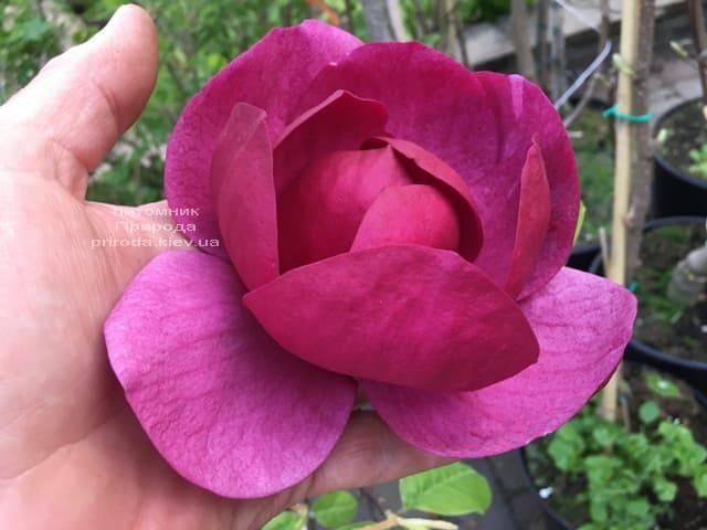 Магнолія Блек Тюліп (Magnolia Black Tulip) ФОТО Розплідник рослин Природа (25)
