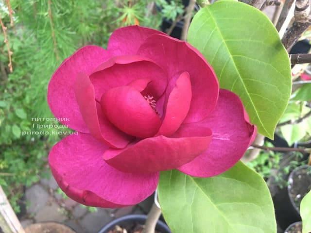 Магнолія Блек Тюліп (Magnolia Black Tulip) ФОТО Розплідник рослин Природа (28)