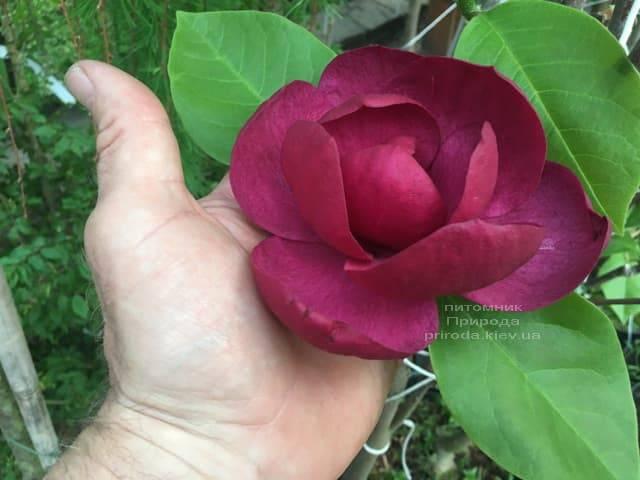 Магнолія Блек Тюліп (Magnolia Black Tulip) ФОТО Розплідник рослин Природа (29)