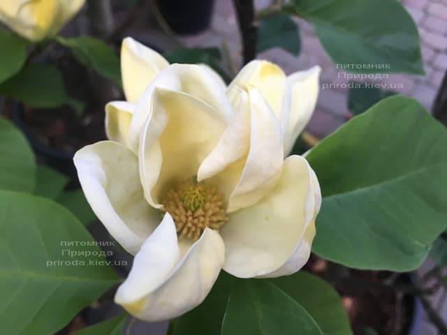 Магнолія бруклінська Еллоу Берд (Magnolia brooklynensis Yellow Bird) ФОТО Розплідник рослин Природа (1)
