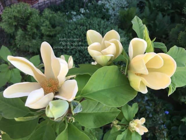 Магнолія бруклінська Еллоу Берд (Magnolia brooklynensis Yellow Bird) ФОТО Розплідник рослин Природа (2)