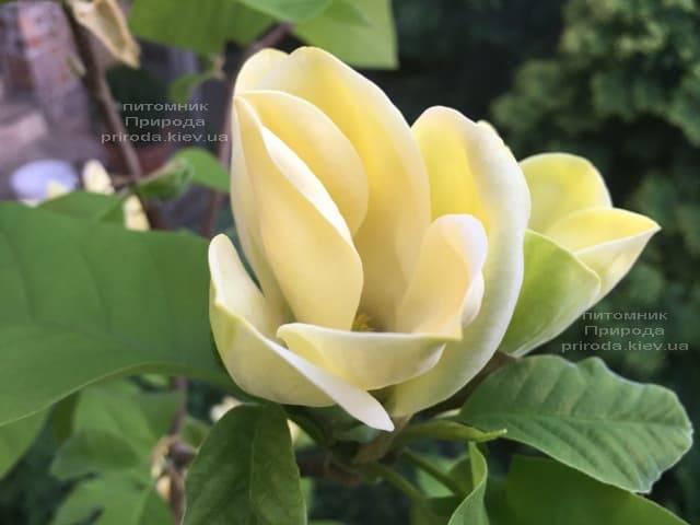 Магнолія бруклінська Еллоу Берд (Magnolia brooklynensis Yellow Bird) ФОТО Розплідник рослин Природа (4)