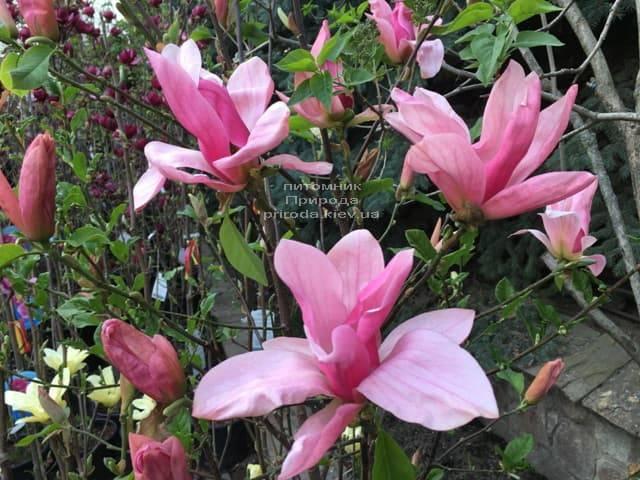 Магнолія Дейбрейк (Daybreak) ФОТО Розплідник рослин Природа (10)