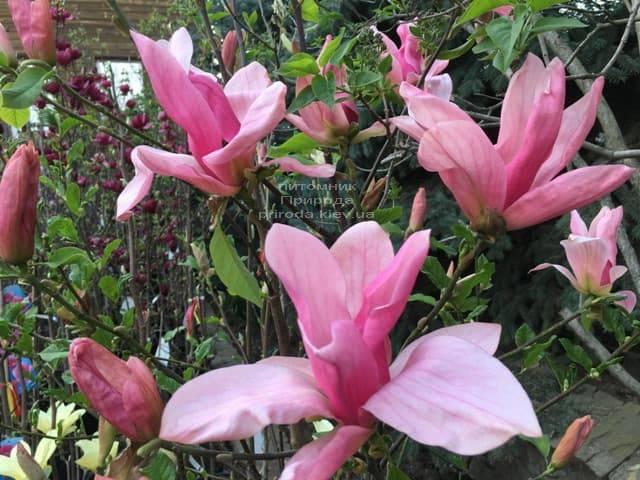 Магнолия Дэйбрэйк (Daybreak) ФОТО Питомник растений Природа (5)