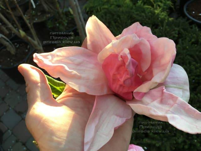 Магнолія Дейбрейк (Daybreak) ФОТО Розплідник рослин Природа (7)