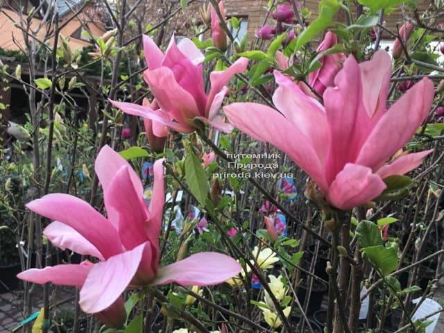 Магнолія Дейбрейк (Daybreak) ФОТО Розплідник рослин Природа (8)