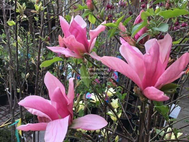 Магнолія Дейбрейк (Daybreak) ФОТО Розплідник рослин Природа (9)
