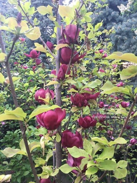 Магнолия Джени (Magnolia Genie) ФОТО Питомник растений Природа (14)