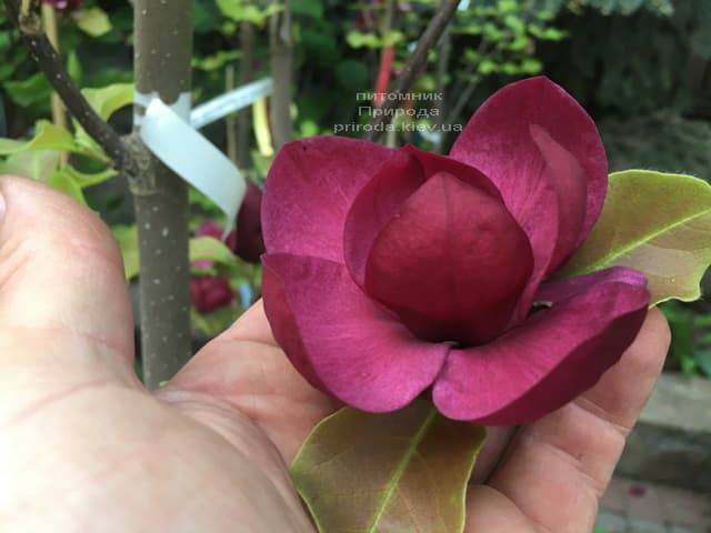Магнолия Джени (Magnolia Genie) ФОТО Питомник растений Природа (16)