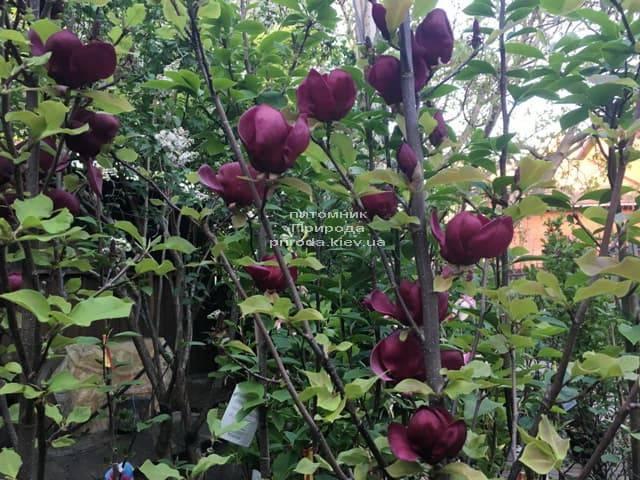 Магнолия Джени (Magnolia Genie) ФОТО Питомник растений Природа (19)