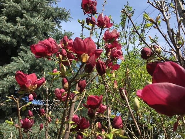 Магнолия Джени (Magnolia Genie) ФОТО Питомник растений Природа (2)