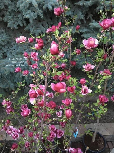Магнолия Джени (Magnolia Genie) ФОТО Питомник растений Природа (20)