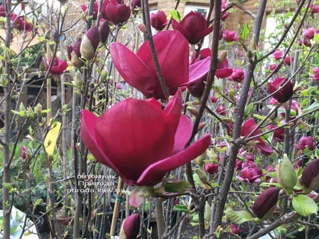 Магнолия Джени (Magnolia Genie) ФОТО Питомник растений Природа (3)
