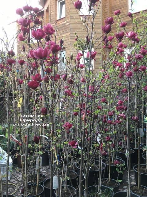 Магнолия Джени (Magnolia Genie) ФОТО Питомник растений Природа (4)