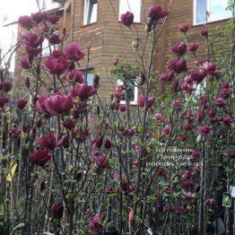 Магнолія Джені (Magnolia Genie) ФОТО Розплідник рослин Природа (5)
