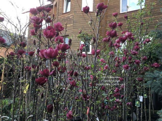 Магнолия Джени (Magnolia Genie) ФОТО Питомник растений Природа (5)