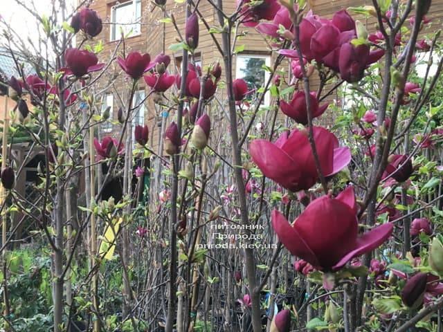 Магнолия Джени (Magnolia Genie) ФОТО Питомник растений Природа (6)