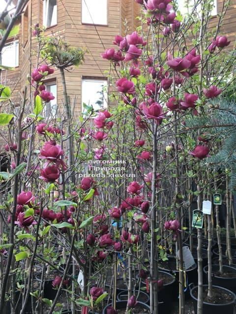 Магнолия Джени (Magnolia Genie) ФОТО Питомник растений Природа (7)