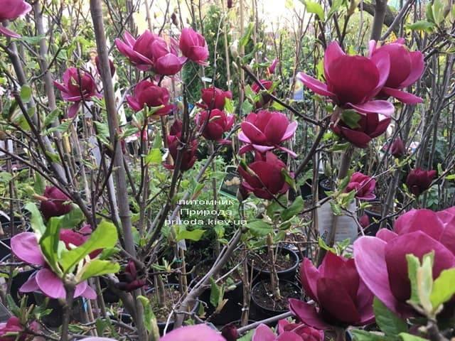 Магнолия Джени (Magnolia Genie) ФОТО Питомник растений Природа (8)
