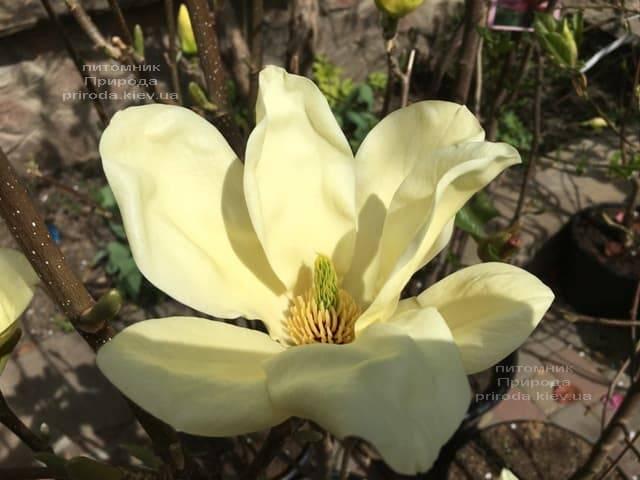 Магнолия Элизабет (Magnolia Elizabeth) ФОТО Питомник растений Природа (2)