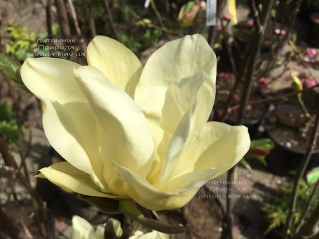 Магнолия Элизабет (Magnolia Elizabeth) ФОТО Питомник растений Природа (3)