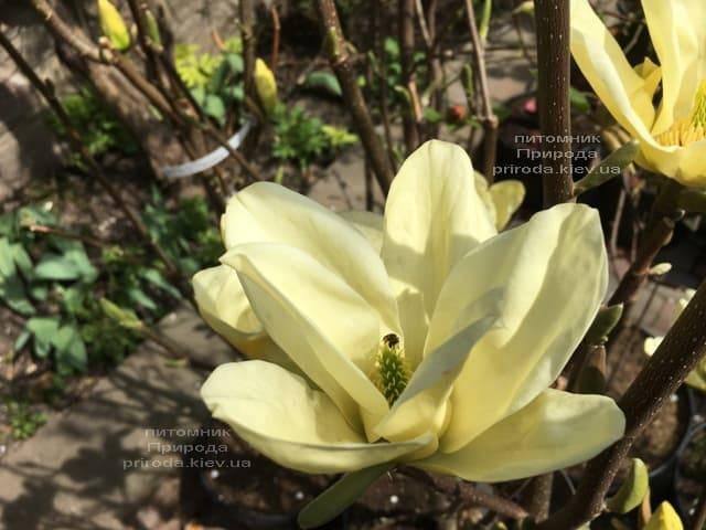 Магнолия Элизабет (Magnolia Elizabeth) ФОТО Питомник растений Природа (6)
