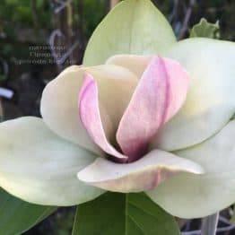 Магнолия Сенсация (Maqnolia Sunsation) ФОТО Питомник растений Природа (8)