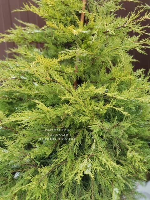 Можжевельник китайский Куривао Голд (Juniperus chinensis Kuriwao Gold) ФОТО Питомник декоративных растений Природа (5)