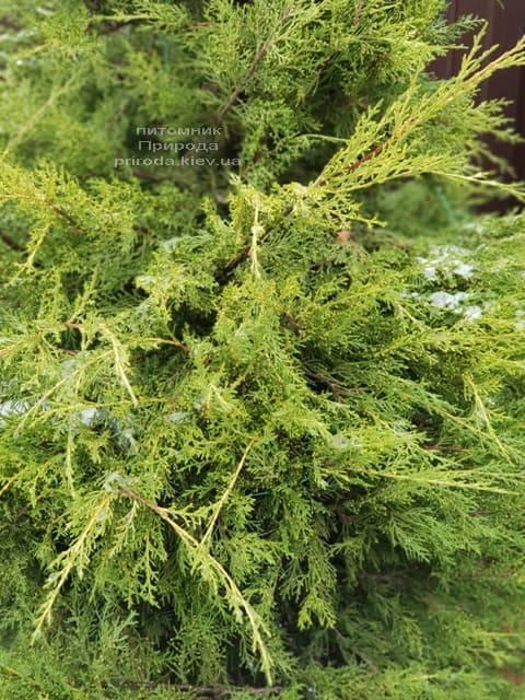 Можжевельник китайский Куривао Голд (Juniperus chinensis Kuriwao Gold) ФОТО Питомник декоративных растений Природа (6)