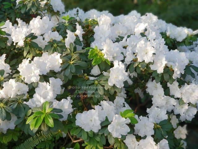 Азалия ФОТО Питомник растений Природа (24)