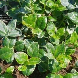Барвинок малый Аргентеовариегата (Vinca minor Argenteovariegata) ФОТО Питомник растений Природа (4)