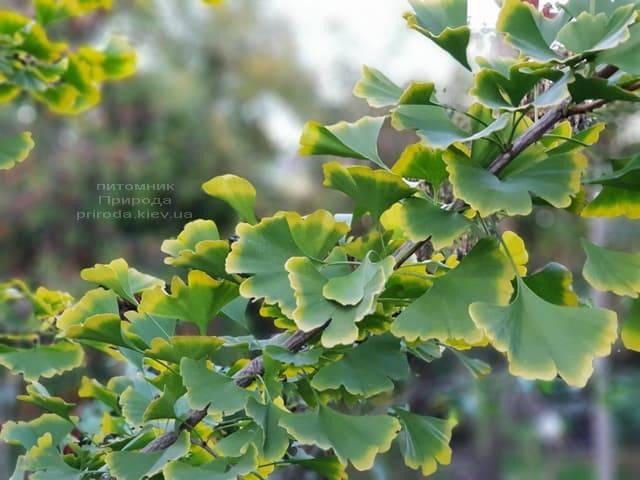 Гинкго двулопастное (Ginkgo biloba) ФОТО Питомник растений Природа (5)