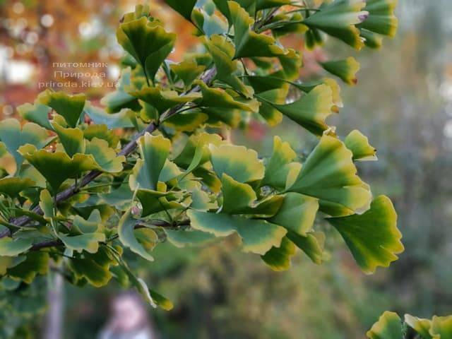 Гинкго двулопастный билоба (Ginkgo biloba) ФОТО Питомник растений Природа (8)