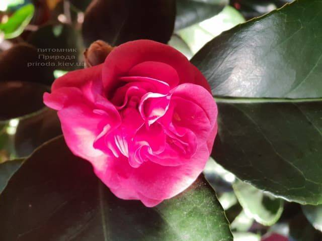 Камелия ФОТО Питомник растений Природа (1)