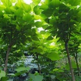 Катальпа бігнонієвидна Нана (Catalpa bignoides Nana) на штамбі ФОТО Розплідник рослин Природа (2)