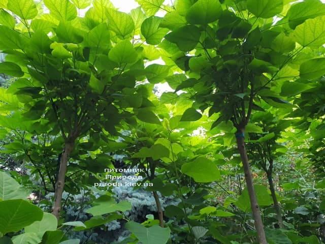 Катальпа бигнониевидная Нана (Catalpa bignoides Nana) на штамбе ФОТО Питомник растений Природа (2)