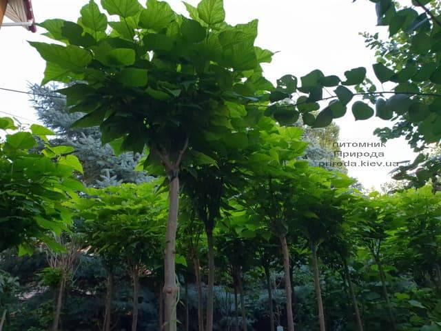 Катальпа бигнониевидная Нана (Catalpa bignoides Nana) на штамбе ФОТО Питомник растений Природа (3)