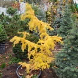 Лиственница японская Кертис Уорчард (Curtis Worchard) ФОТО Питомник растений Природа (1)