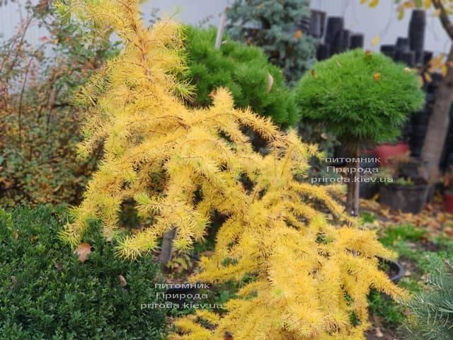 Лиственница японская Кертис Уорчард (Curtis Worchard) ФОТО Питомник растений Природа (10)