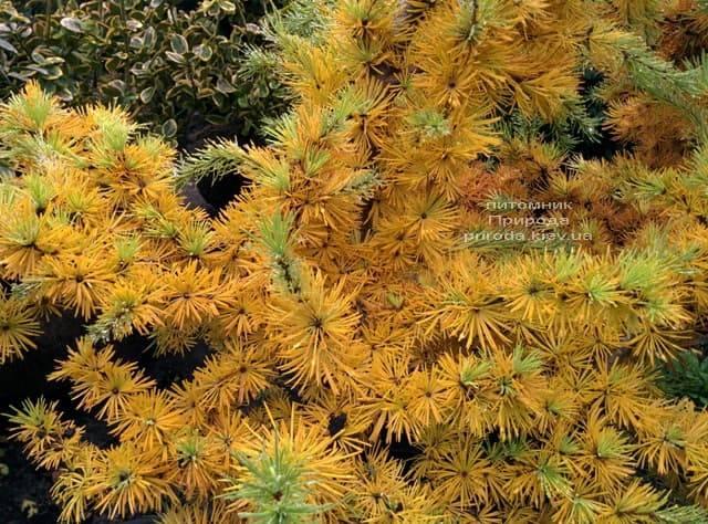 Лиственница японская Кертис Уорчард (Curtis Worchard) ФОТО Питомник растений Природа (4)