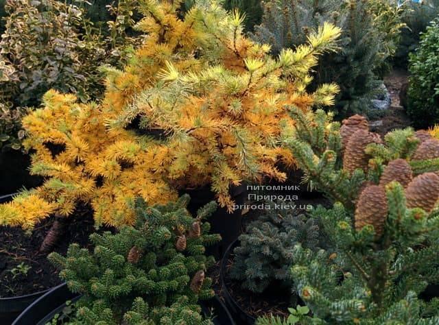 Лиственница японская Кертис Уорчард (Curtis Worchard) ФОТО Питомник растений Природа (6)